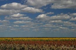 Sonnenblumenfelder in Botswana