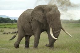 Elefant im Amboseli Nationalpark - ©  Karl Scheliessnig  www.scheliessnig.at