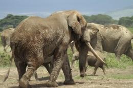 Amboseli Nationalpark Kenia - ©  Karl Scheliessnig  www.scheliessnig.at