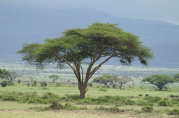 Amboseli Nationalpark - ©  Karl Scheliessnig  www.scheliessnig.at