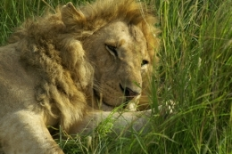 Löwe in einem Nationalpark in Kenia ©  Karl Scheliessnig  www.scheliessnig.at