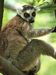 Katta-Ringelschwanz-Lemur im Park Anja