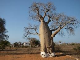 Baobabbäume