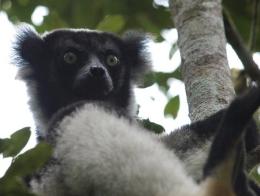 Indri (Indri indri) - Im Regenwald von Mitsinjo in Andasibe