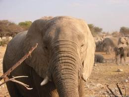 Afrikanischer Elefant - Big Five