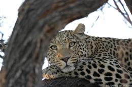 Leopard - einer der Big Five