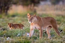 Löwin in einem Nationalpark in Südafrika