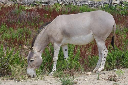 Ein Esel in Somalia