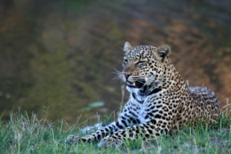 Leopard, Kenia