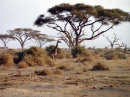 Giraffen im Amboseli Nationalpark