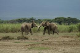 Elefanten, Kenia ©Karl Scheliessnig  www.scheliessnig.at