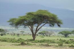 Kenia Reiseberichte - einsamer Baum ©Karl Scheliessnig  www.scheliessnig.at