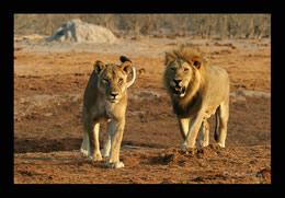 Afrika - Löwenpaar