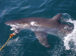 Haitauchen in Südafrika