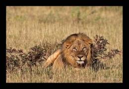 Löwe, Südafrika - ©Christian Heinrich   www.fotofeeling.de