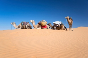 Kamele - Sahara - Afrika