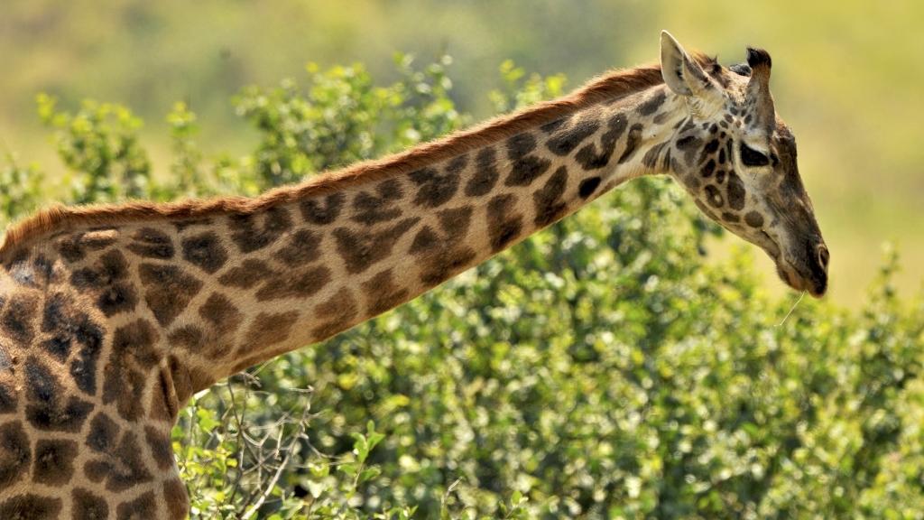 Tansania - Reisen - Giraffe