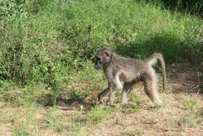 Südafrika - Reisen - Pavian