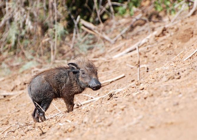 Warzenschwein - Gambia - Reisen