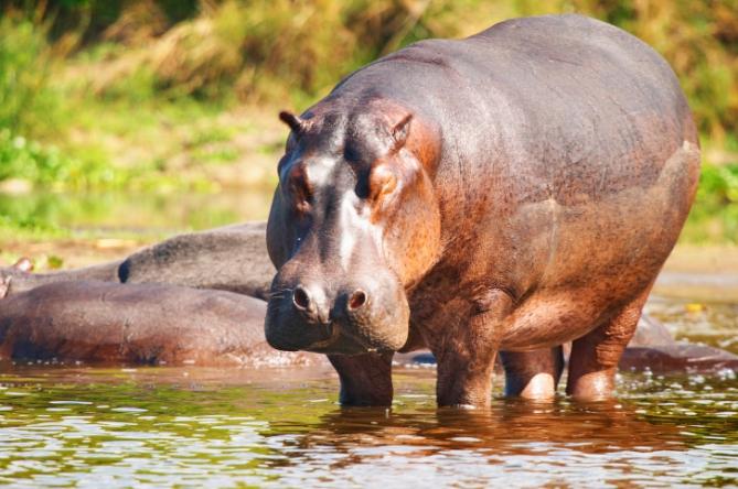 Guinea-Bissau - Reisen - Flusspferd