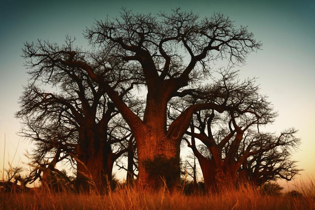 Tansania - Reisen - Baobab