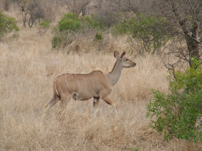 Südafrika - Reisen - Klippspringer