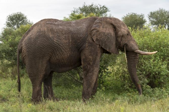 Elefant - Südafrika - Reisen