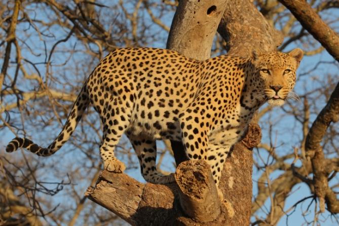 Südafrika - Reisen - Leopard