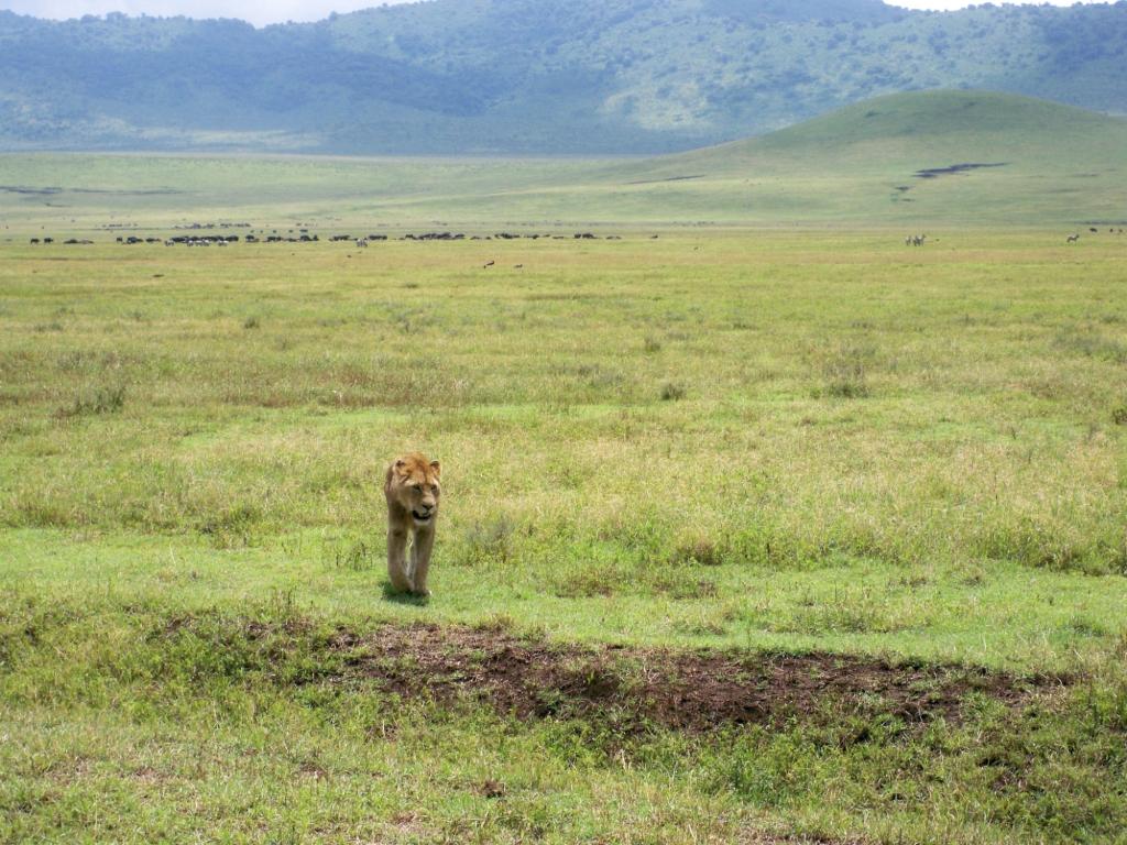 Tansania - Reisen - Löwen