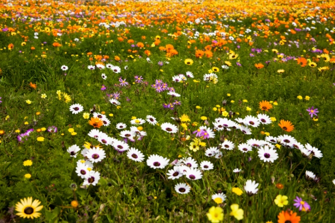 wilde Frühlingsblumen - Südafrika