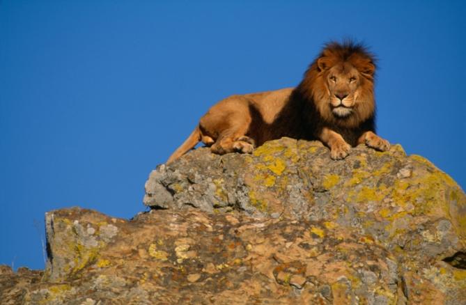 Elfenbeinküste - Reisen - Löwe