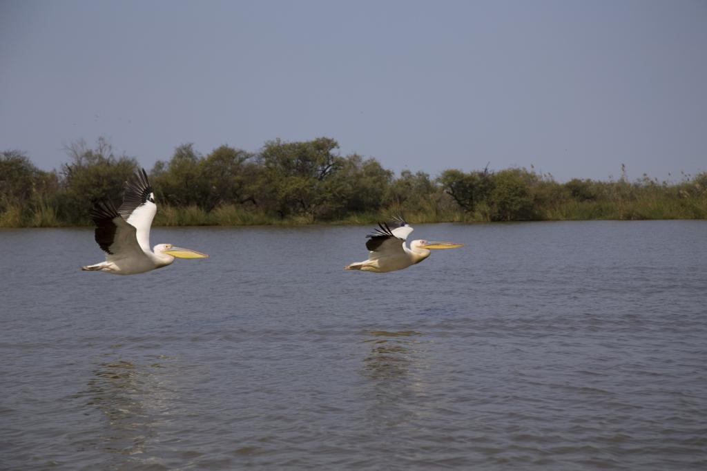Senegal - Reisen - Pelikane