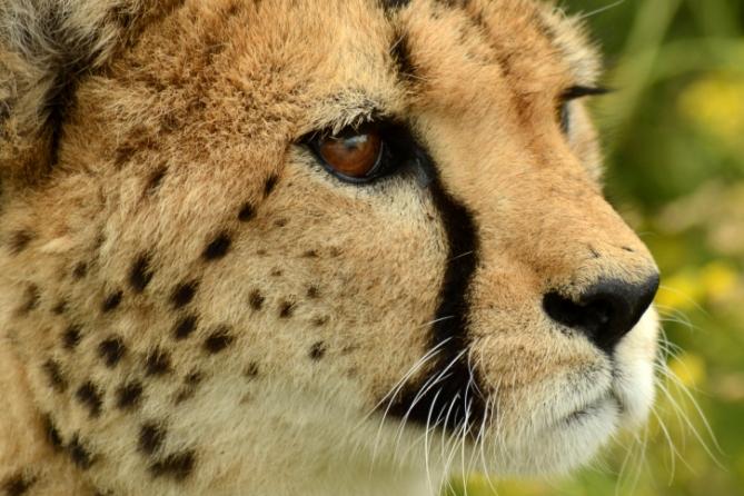 Namibia - Reisen - Geparden