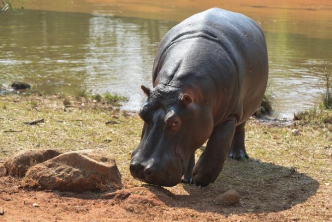 Swasiland - Reisen - Flusspferd