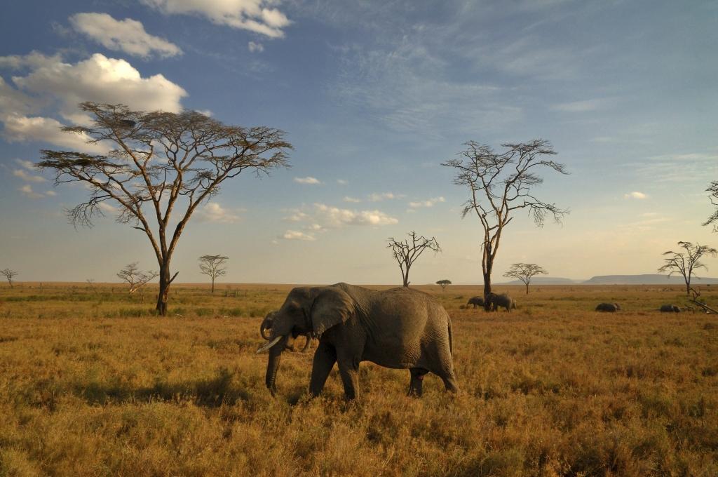 Tansania - Reisen - Elefant