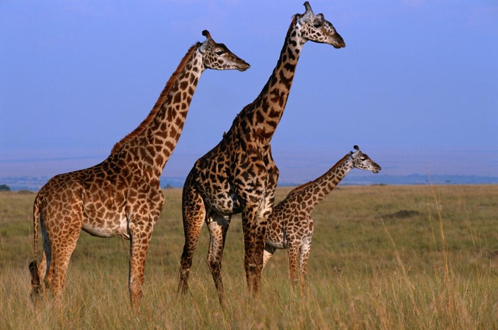 Nigeria - Reisen - Giraffen