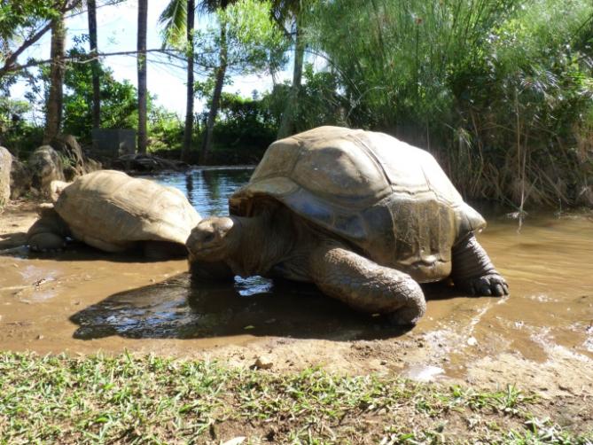 Guinea-Bissau - Reisen - Schildkröte