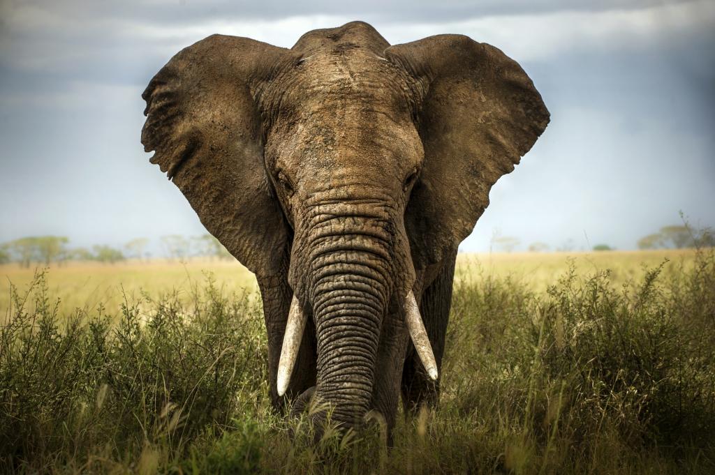Nigeria - Reisen - Elefant