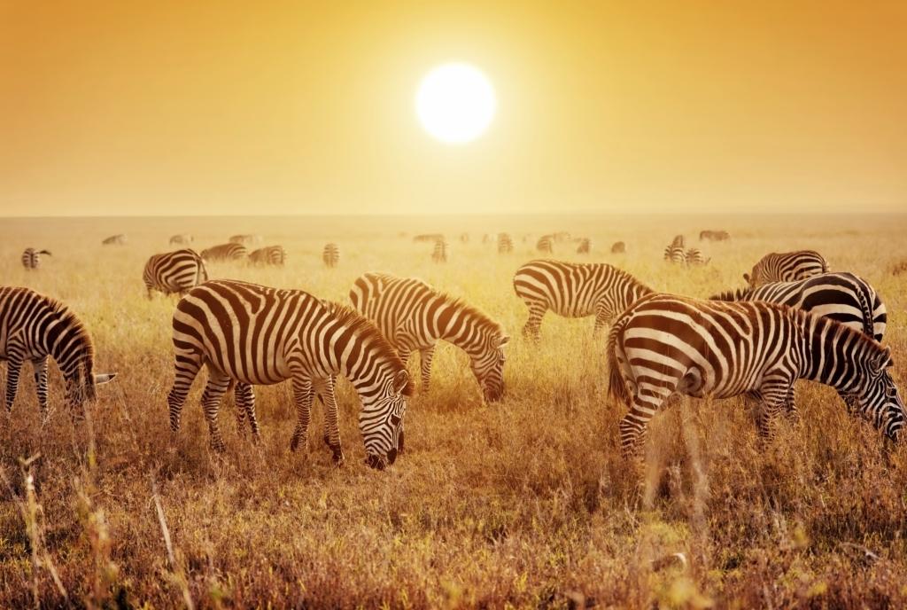 Tansania - Reisen - Zebras