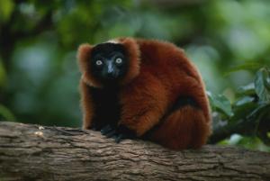 Madagaskar Safari: Lemur