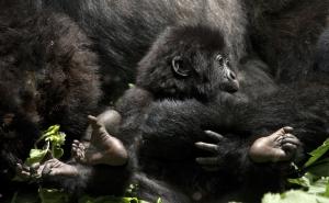Gorillas im Volcanoes Nationalpark-Ruanda