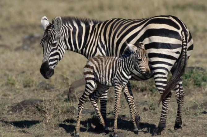 Zebra mit Jungem