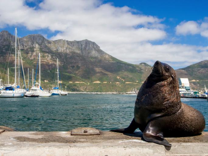Robbe, Hout Bay Südafrika