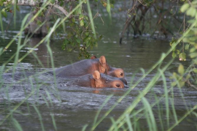 Nilpferd: Sambesi, Sambia