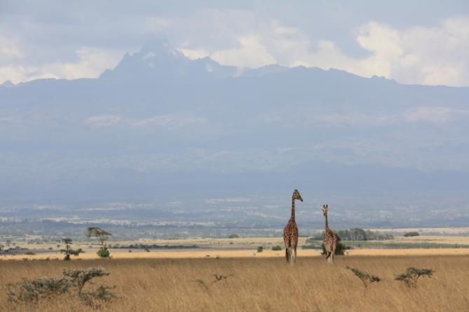 Giraffen, Aberdare Nationalpark
