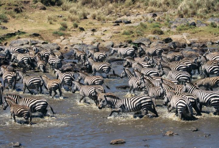 Zebras auf großer Wanderung auf Tansania-Safari erleben