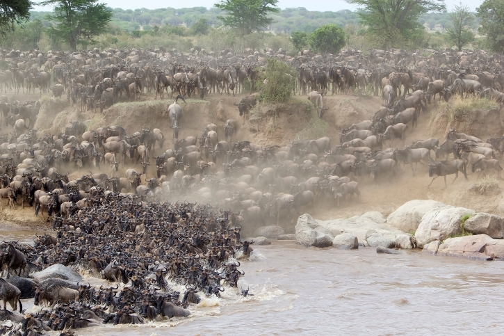 Beeindruckendes Schauspiel einer Flussquerung während der Great Migration