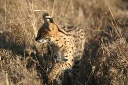 Kenia - Safari - Gepard
